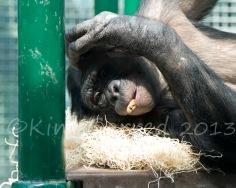 Chimp(13)2908